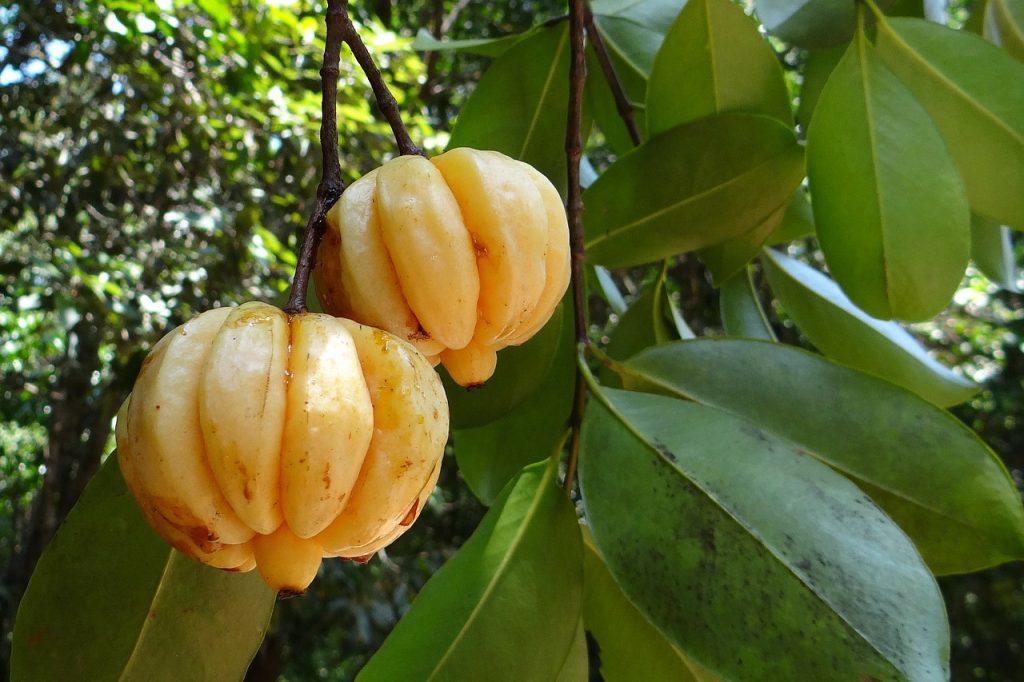 Les meilleures marques de Garcinia Cambogia